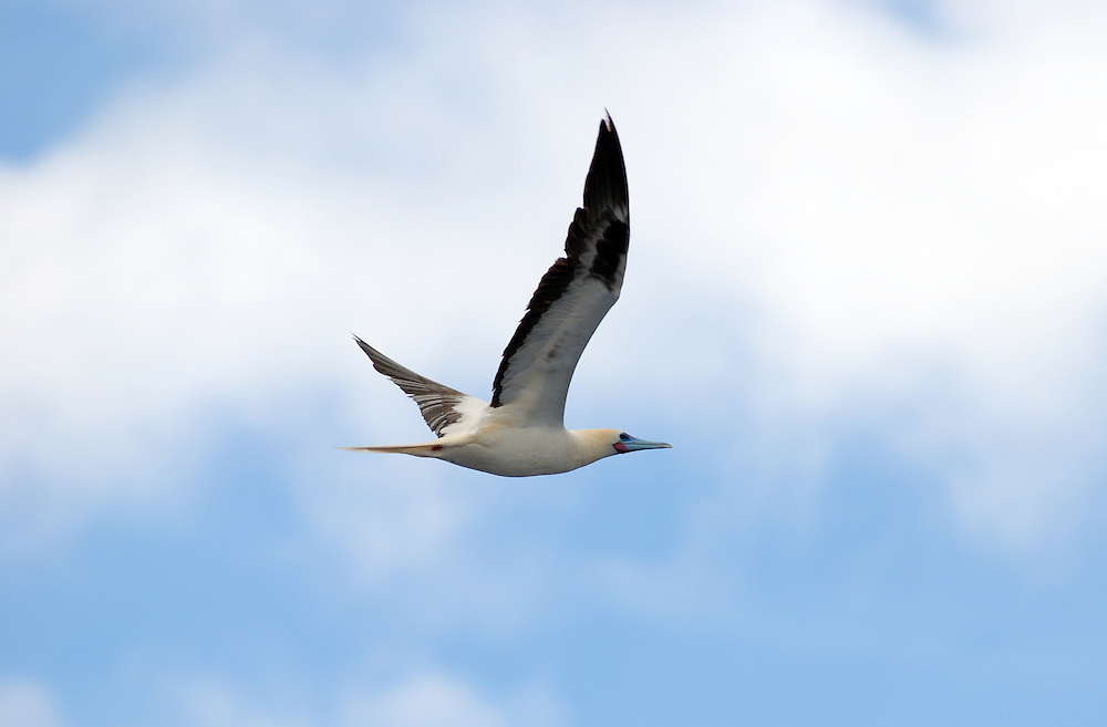 A Red-footed Booby in flight.  Latin name Sula sula.  This is the smallest of all boobies at around 28 inches (70cm) long.  There are several colour morphs, ranging from brown to white.  this is the white colour morph.