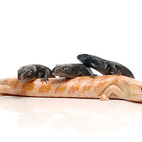 Albino & Melanistic Eastern Blue Tongue Skinks (Tiliqua scincoides scincoides) on white