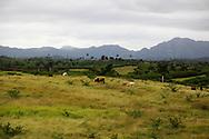 Cows in pasture at La Union, Pinar del Rio, Cuba.