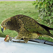 """The mischievous kea (Nestor notabilis), the world's only alpine parrot, is native to South Island, New Zealand. The bird is mostly olive-green with brilliant orange under its wings. Published in """"Light Travel: Photography on the Go"""" by Tom Dempsey 2009, 2010."""