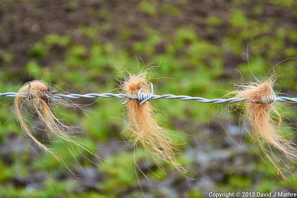Hair on a Barbed Wire Fence. From the Shaggy Coat of Hamish a Scottish Highland Cow. West Dunbartonshire, Scotland, United Kingdom. Image taken with a Nikon 1 V2 camera and 10-100 mm VR lens (ISO 160, 46 mm, f/5.6, 1/250 sec). Semester at Sea Spring 2013 Enrichment Voyage.