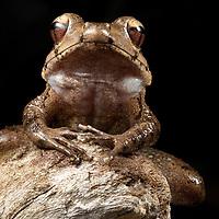 A Discodeles frog sits on driftwood on Kolombangara, Solomon Islands