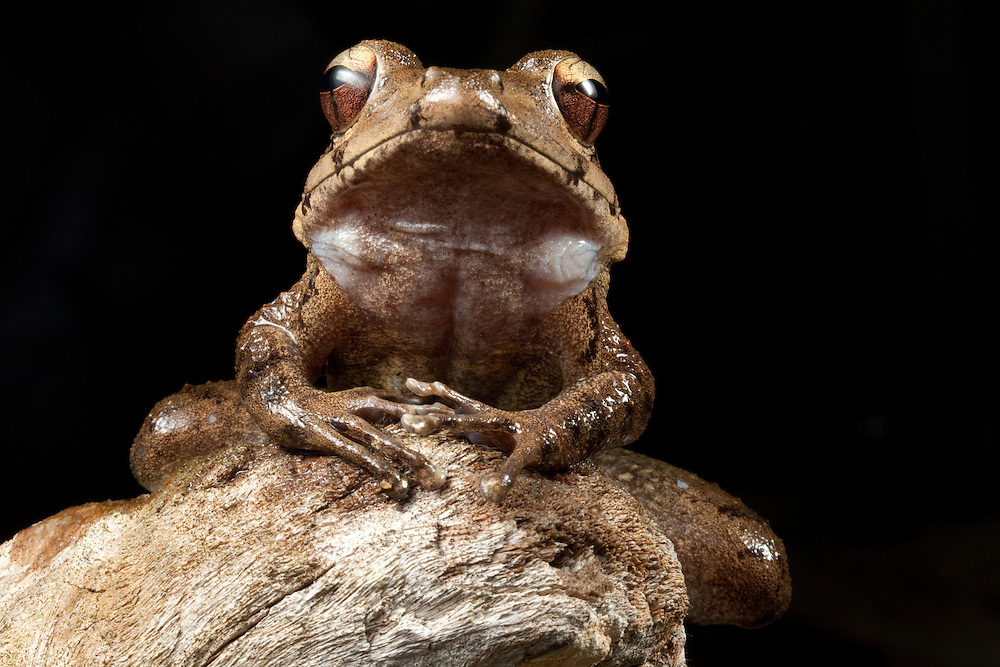 A Discodeles frog sits on driftwood on Kolombangara, Solomon Islands
