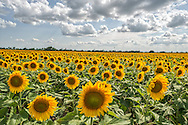 Fields of colorful sunflowers