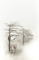 Great egret flying past cypress trees in the fog at Lake Mattamuskeet, NC.