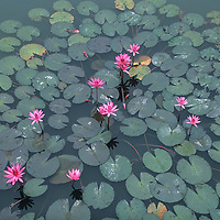 Asia, Vietnam, Hué, Water lilies float in pool at The Citadel in the old Imperial Enclosure
