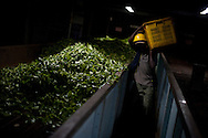 Factory workers unload freshly plucked tea leaves for processing at a plant near the town of Hatton in the hill country in central Sri Lanka December 14, 2009. After being picked leaves are wilted overnight then dried and ground with in 24 hours to produce tea for auction.