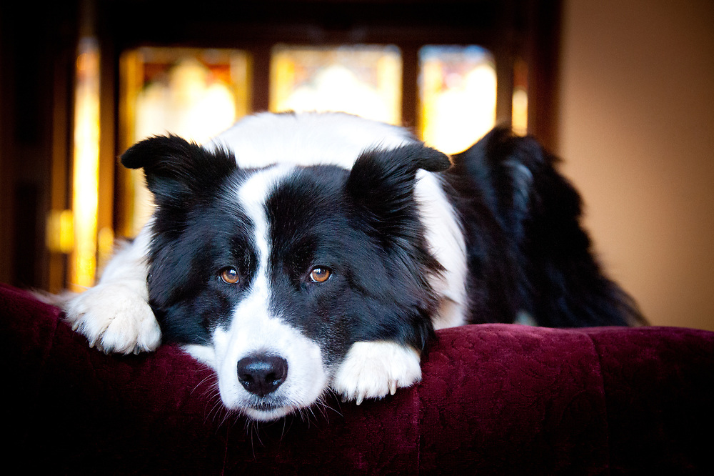 Karelian bear dog border collie mix - photo#10