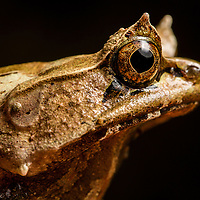 Palawan horned frog, Megophrys ligayae, an endangered from the Philippines