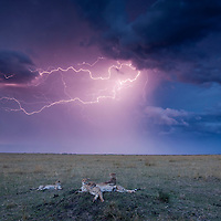 Africa, Kenya, Masai Mara Game Reserve, Cheetah (Acinonyx jubatas) and adolescent cubs resting on termite mound under lighting and storm clouds at dusk