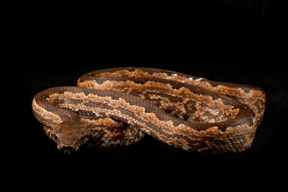 Solomon Islands Ground Boa, Candoia carinata paulsoni, from Tetapare against a black background