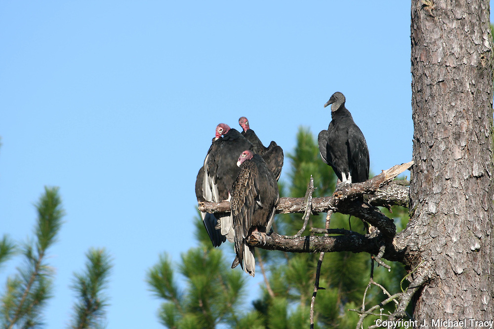 3 Turkey Vultures and one Black Vulture sitting in a dead pine tree near Brunswick Georgia.