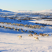 Reindeer herding in the Mid-Norway mountains of Sylene.