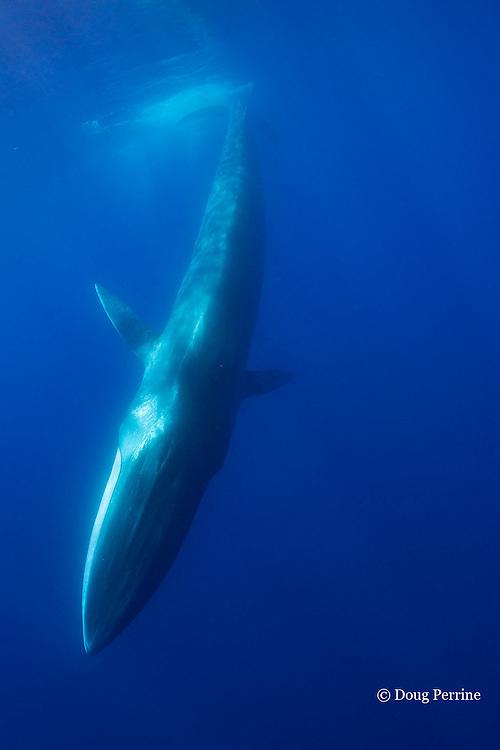 fin whale, finback whale, razorback, or common rorqual, Balaenoptera physalus, diving, showing asymmetrical white pigmentation on lower right jaw, Pelagos Sanctuary for Mediterranean Marine Mammals, Ligurian Sea, Mediterranean Sea, Italy