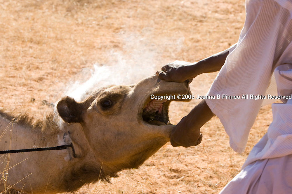 Camels, near El Obeid, Sudan,  are branded with owners's mark before heading to Egypt to be sold.