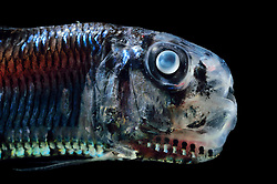 [captive] Lightfish (Ichthyococcus ovatus) is a deep sea fish. They are bioluminescent fishes, possessing rows of photophores along their sides, with which they hunt planktonic invertebrates, especially krill. Atlantic Ocean close to Cape Verde  