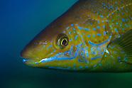 Odax pullus (Butterfish)