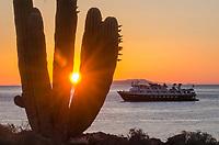 Cardon Cacti on Isla San Esteban in the Gulf of California in Baja California Sur, Mexico.