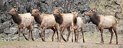 Four cow Elk and a calf at Oak Creek in the Cascade Mountain Range, Washington, USA panorama