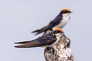 Wire-Tailed Swallow pair perched on a dead tree stump, Chobe River, Kasane, Botswana.