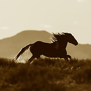 Wild Mustang Running n Wyoming