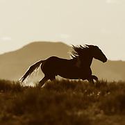 Wild Mustang Running n Wyoming