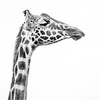 Rothschild's Giraffes at Giraffe Manor