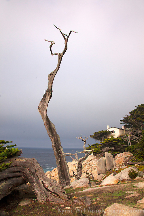 USA, California, Monterey. The Ghost Tree along 17-Mile Drive.