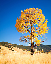 Aspen tree. Valle Vidal in northern New Mexico.