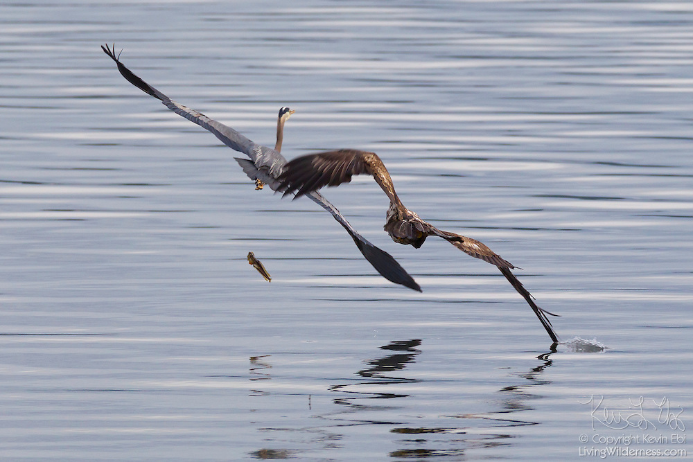 A juvenile bald eagle (Haliaeetus leucocephalus) steals a midshipman fish from a great blue heron (Ardea herodias) in the Hood Canal near Seabeck, Washington. Hundreds of birds congregate in the area in the early summer to feast on the migrating midshipman fish, which get trapped in oyster beds during low tides. While bald eagles are skilled hunters, they predominently get their food by stealing it from other birds.