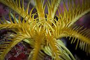 Crinoidea (Feather Stars of the Kermadecs)