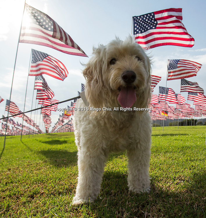 A dog is seen at amongst 3,000 US flags are displayed at Pepperdine University to mark the 14th anniversary of the 9/11 terror attack, September 10, 2015 in Malibu, California.  Photo by Ringo Chiu/PHOTOFORMULA.com)