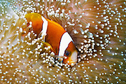 Barrier Reef Anemonefish (Amphiprion akindynos) in Mertens Carpet Sea Anemone (Stichodactyla mertensii) - Agincourt Reef, Great Barrier Reef