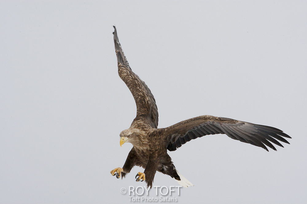 Wild White-tailed Sea Eagle (Haliaeetus albicilla), Japan