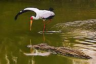 Yellow-billed stork fishing, Mycteria ibis, Luangwa Valley, Zambia