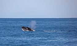 A Humpback whale surfaces west of Adele Island on the Kimberley coast.