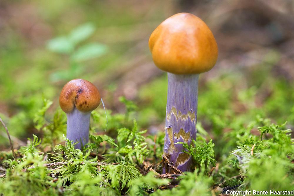 Bl&aring;beltesl&oslash;rsopp. Cortinarius collinitus, Blue-girdled Webcap, Violettfotad slemspindling, Kangaslimaseitikki. uspiselig, Bl&aring;beltesl&oslash;rsoppens hatt er f&oslash;rst klokkeformet, senere hvelvet til utbredt, med lav pukkel, 4-9 cm. Sterkt slimet i fuktig v&aelig;r. Skivene f&oslash;rst blekbrune med fiolett tone, senere oker- til kanelbrune. Stilken hvit med bruntonet basis, dekket av et slimet, lyst fiolett velum, som kan sprekke opp i dekorative tverrb&aring;nd. Kj&oslash;tt gr&aring;hvitt til blekbrunt. Ubetydelig lukt og smak. Ligner honningsl&oslash;rsopp, C. stillatitius.<br /> The cap is 3&ndash;9 cm in diameter, convex to flat in shape, with a sticky, gelatinous surface (in moist conditions). The gills are adnexed, close, and pallid or pale violet in color. The stipe is typically 6&ndash;12 cm long and 1&ndash;1.5 cm thick, solid, equal, and has transverse scaly-looking bands. The spore print, like most Cortiniarius species, is rusty-brown.