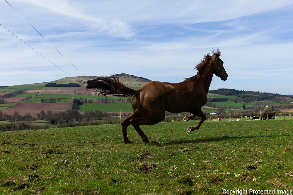 Bonchester Bridge, Hawick, Scottish Borders, UK. 8th April 2015. Racehorse Durban Gold lets off some steam while enjoying a break outside in warm sunshine aginst the backdrop of Ruberslaw hill in the Borders.