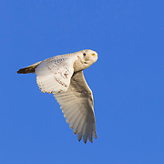A snowy owl (Nyctea scandiaca) flies against blue skies at Damon Point in Ocean Shores, Washington. Snowy owls, which spend the summer in the northern circumpolar region north of 60 degrees latitude, have a typical winter range that includes Alaska, Canada and northern Eurasia. Every several years, for reasons still unexplained, the snowy owls migrate much farther south in an event known as an irruption. During one irruption, a snowy owl was found as far south as the Caribbean. During the 2011-2012 irruption, Ocean Shores on the Washington coast was the winter home for an especially large number of snowy owls.