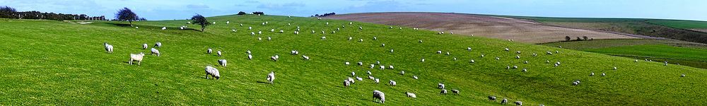 Sheep on the South Downs; hills that forms part of the South Downs National Park in southern England. Photographed near Ditchling Beacon in Sussex.