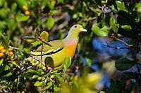 Orange-breasted Green Pigeon (Treron bicinctus), Yala National Park, Sri Lanka