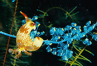 Nudibranch (Nembrotha lineolata) grazes on colonial tunicates.  Coron Island vicinity, Philippines
