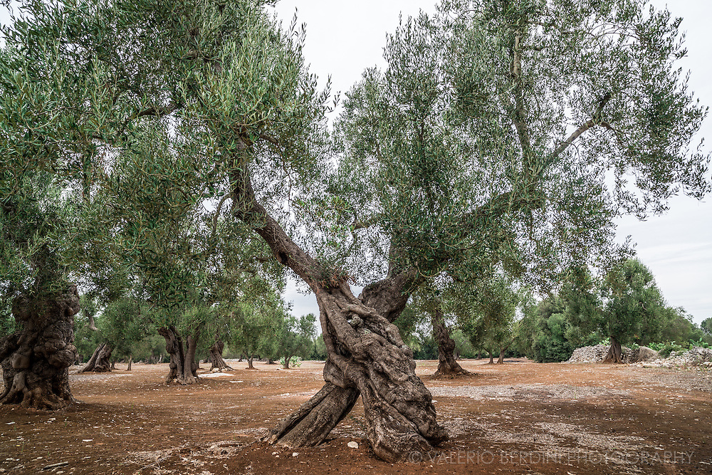 Ancient olive tree in Salento. Olive trees can live centuries some of Puglia olive trees are believed to be over a thousand of years old.