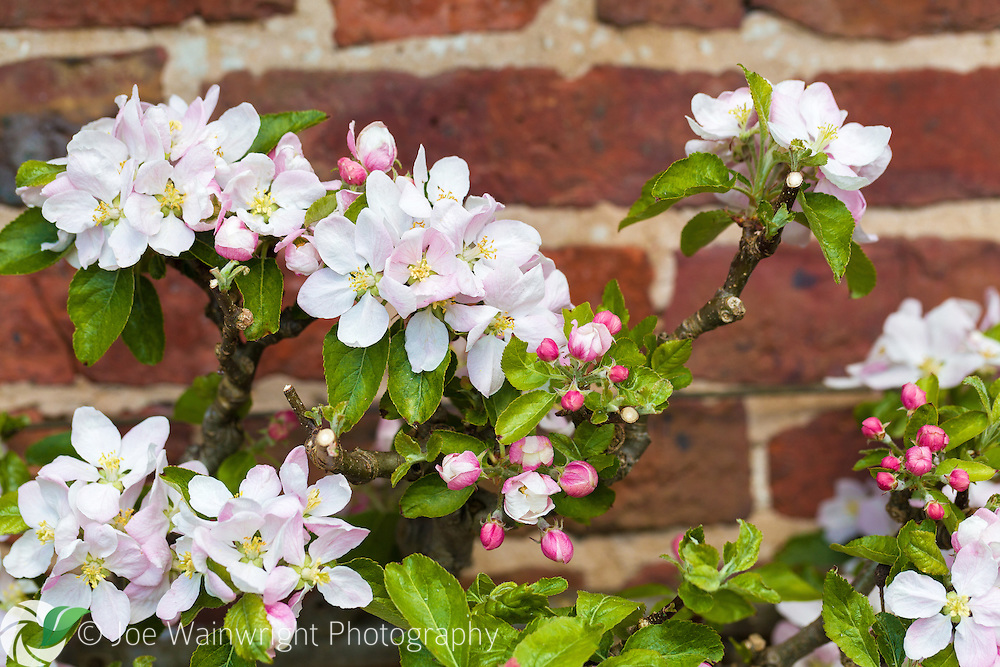 An espaliered fruit tree is in bloom in the gardens of Erddig Hall, Wrexham, North Wales. Photographed in May.