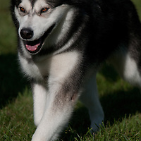 Alaskan Malamute striding through the show ring at an AKC dog show.