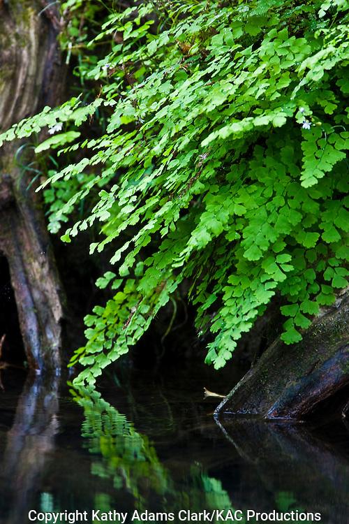 Maidenhair fern growing along the Rio Frio, El Cielo, Tamalupis, Mexico.  El Cielo Bioesphere Reserve.
