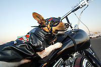 "Mar 26, 2003; Newport Beach, CA, USA; Two year old KIA BRUCE, a short legged, tri-colored smooth coat Jack Russell Terrior K-9 dog rides on her owners Harley. Kia has her own goggles, Harley riders vest and safety chain on the bike. Owner Rene Bruce got this 9.5"" tall terrior in Aguanga, CA in May 2001. Kia has her own website showcasing her agility ribbons and special events. Kiapet.com."