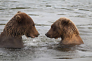 Close-up view of two brown bears facing each other in the water, Katmai National Park, Alaska