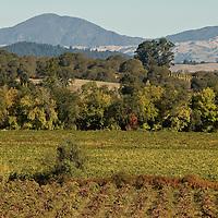 Russian River vineyards, Sonoma, California