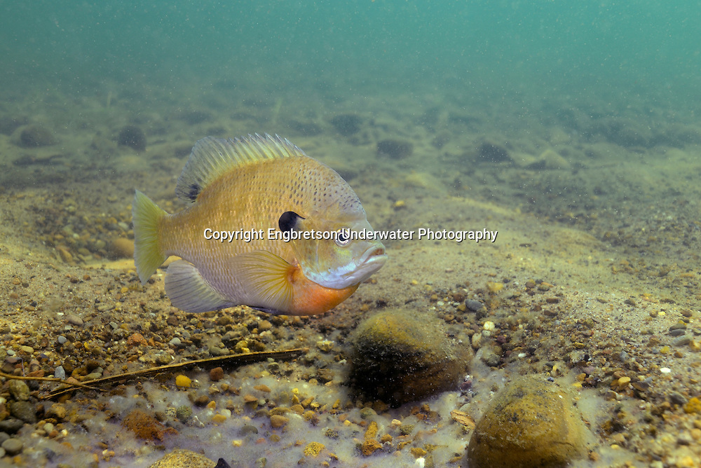 Bluegill over nesting site (with eggs)<br /> <br /> Engbretson Underwater Photography